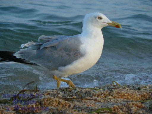 Природа Крыма. Птицы в Крымских городах.